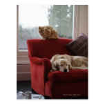 Golden retriever dog with ginger tabby cat post cards