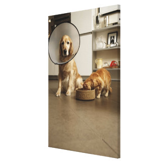Golden retriever dog with medical collar sitting canvas print