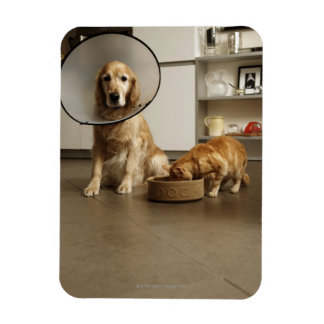 Golden retriever dog with medical collar sitting magnet
