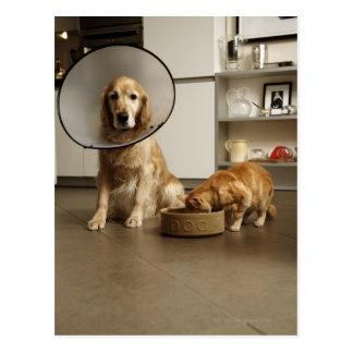 Golden retriever dog with medical collar sitting postcard