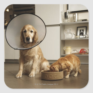 Golden retriever dog with medical collar sitting square sticker