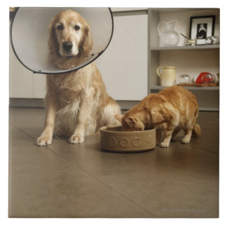 Golden retriever dog with medical collar sitting tile