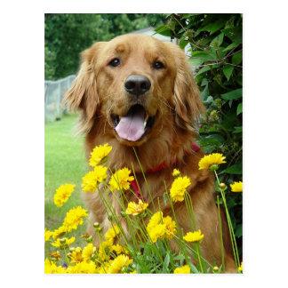 Golden Retriever in flowers Postcard