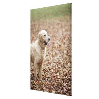 golden retriever in park in autumn canvas print