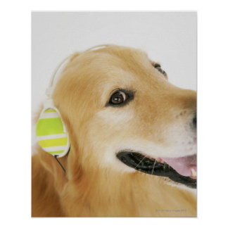 Golden retriever listening to music poster