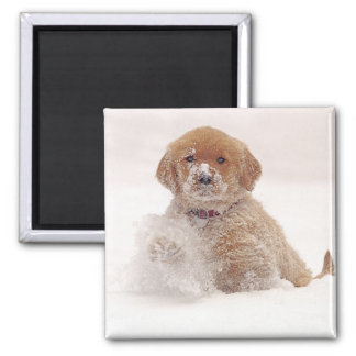 Golden Retriever Pup in Snow Magnet