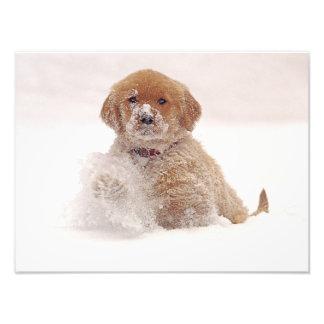 Golden Retriever Pup in Snow Photo Print
