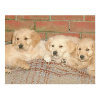 Golden Retriever Puppies Postcard