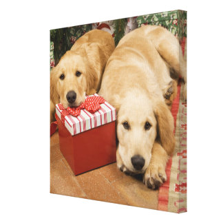 Golden retriever puppies with christmas gift canvas prints