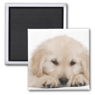 Golden retriever puppy (20 weeks old) magnet
