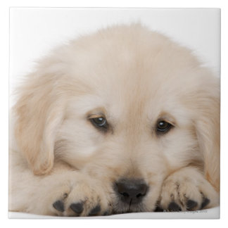 Golden retriever puppy (20 weeks old) tile