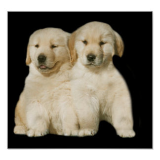 Golden Retriever Puppy Print