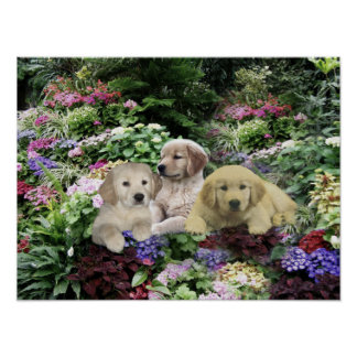 Golden Retriever Pups In Garden Print
