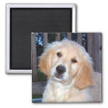 Golden Retriever Refrigerator Magnet