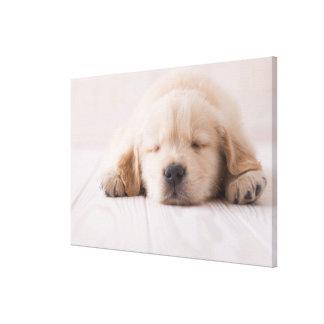 Golden Retriever Sleeping Canvas Print