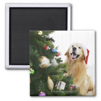 Golden retriever which watches Christmas tree Magnet