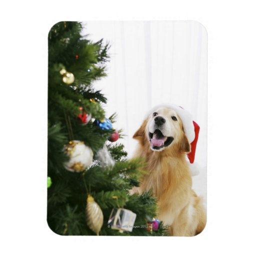 Golden retriever which watches Christmas tree Rectangle Magnet
