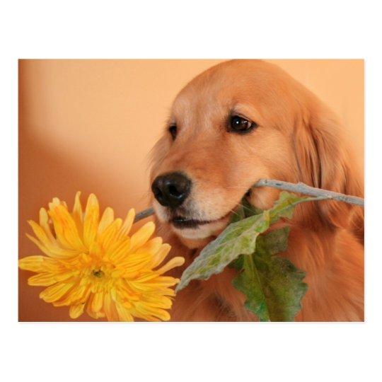Golden Retriever With Flower Postcard