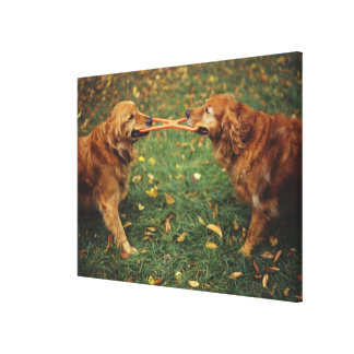 Golden Retrievers playing tug-of-war with toy in Gallery Wrapped Canvas