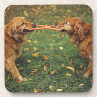 Golden Retrievers playing tug-of-war with toy in Coasters