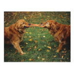 Golden Retrievers playing tug-of-war with toy in Postcard