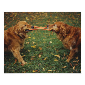 Golden Retrievers playing tug-of-war with toy in Poster