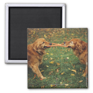Golden Retrievers playing tug-of-war with toy in Square Magnet