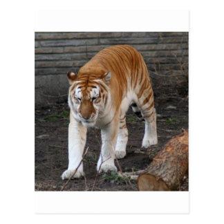 Golden Tabby Tiger 1 Postcard