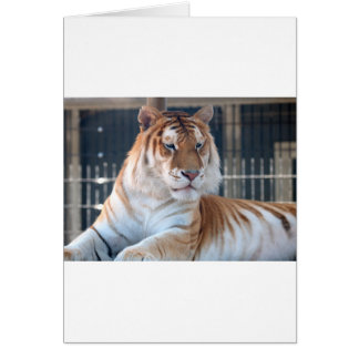 Golden Tabby  tiger at Cougar Mountain Zoo 1 Greeting Card