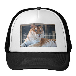 Golden Tabby  tiger at Cougar Mountain Zoo 1 Mesh Hat