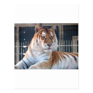 Golden Tabby  tiger at Cougar Mountain Zoo 1 Postcard