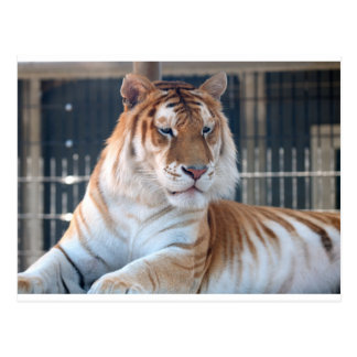 Golden Tabby  tiger at Cougar Mountain Zoo 1 Postcard