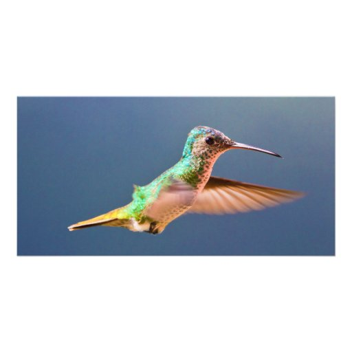 Golden Tailed Sapphire Hummingbird in Flight Picture Card