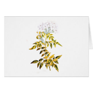 Golden Variegated Jasmine Card