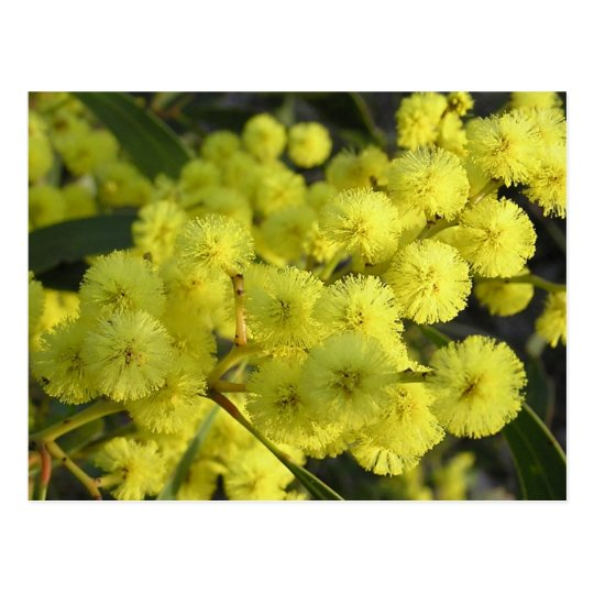 Golden Wattle Postcard