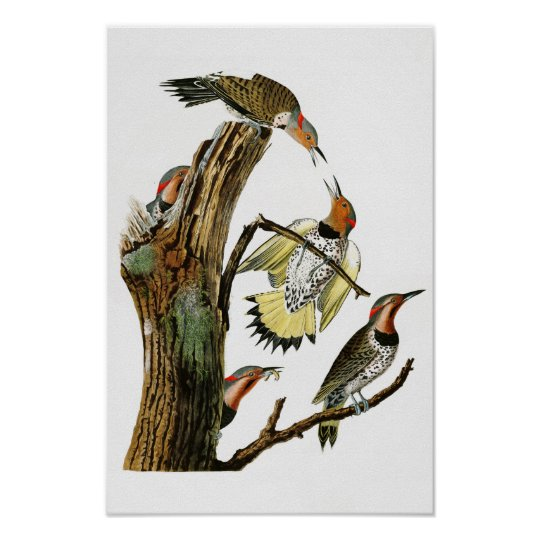 Golden-winged Woodpecker Audubon Birds of America Poster