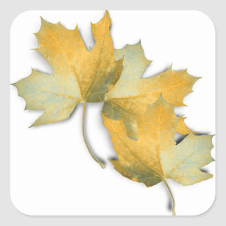 Golden Yellow  Fall Leaves Square Sticker