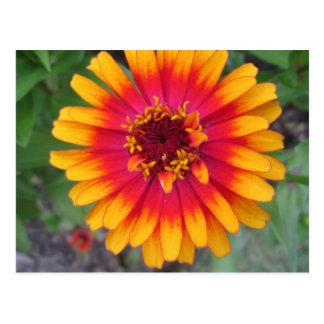 Golden Yellow Orange Zinnia Flower Postcard