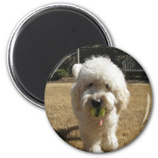 Goldendoodle with ball magnet
