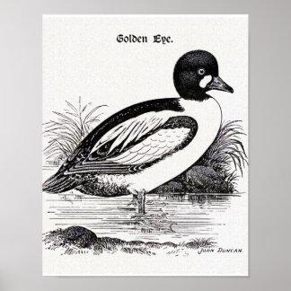 Goldeneye Duck Poster