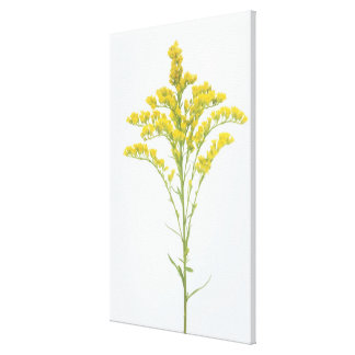 Goldenrod flowers (Solidago juncea), North America Canvas Print