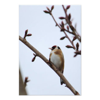 Goldfinch Amongst Buds Photo Print