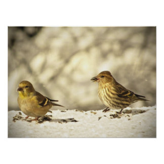 Goldfinch and Pine Siskin Poster