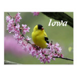 Goldfinch, Iowa's State Bird Postcard Post Card