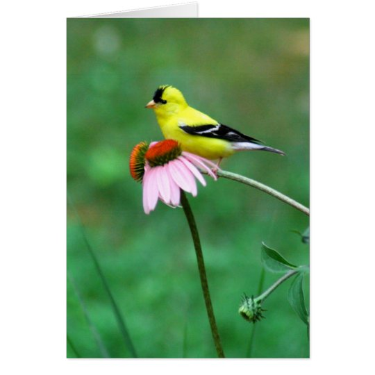 Goldfinch on Coneflower Card