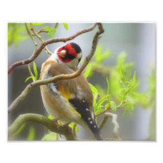 Goldfinch posing photo print