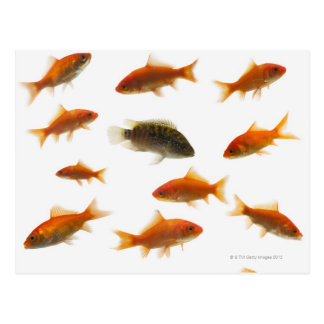 Goldfish 3 postcard