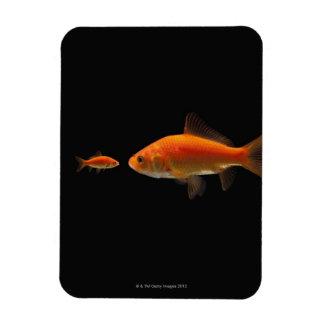 Goldfish 3 rectangular photo magnet