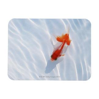 Goldfish 5 rectangular photo magnet