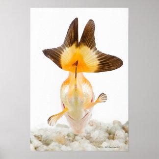 Goldfish (Carassius auratus) 2 Poster
